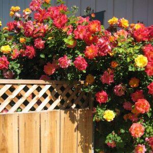 Climbing Rose 'Josephs Coat' - on fence