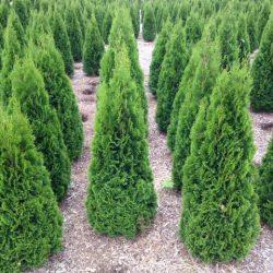 'Emerald' Arborvitae