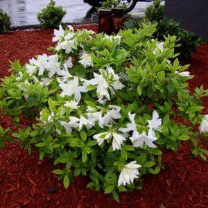 Encore Azalea 'Lily'