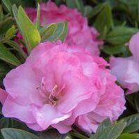 ReBloom Azalea 'Pink Snowcap'