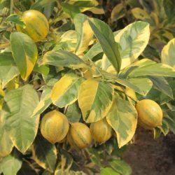 'Eureka Variegated Pink' Lemon