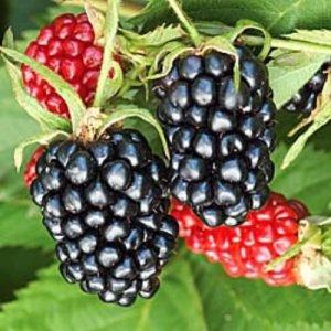 Apache Blackberry