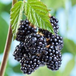 'Natchez' Blackberry