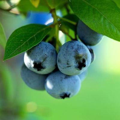 'Premier' Blueberry Bush