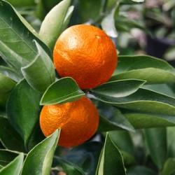 'Arctic Frost' Satsuma Orange