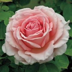 Climbing Rose 'Pearly Gates'