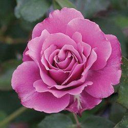 Floribunda Rose 'Angel Face'