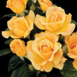 Floribunda Rose 'Livin Easy'