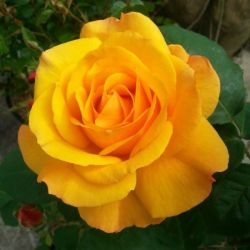 'Good As Gold' Hybrid Tea Rose