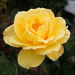 Rose Hybrid Tea 'Henry Fonda'