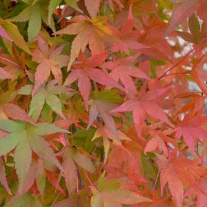 'Ryusen Weeping' Japanese Maple