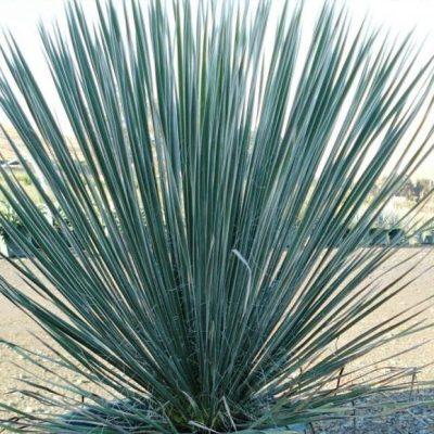 Yucca 'Soaptree'