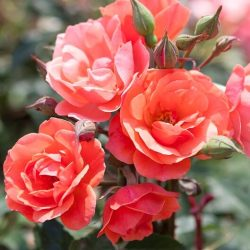 Knock Out Rose Coral