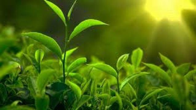Cây trà xanh tốt quanh năm, có hoa màu trắng, có khả năng cao hàng vài mét.