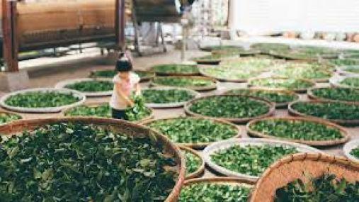 Loại bỏ lần nữa các gân lá để giúp khi làm bột trà xanh mịn hơn.