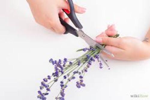 Những cành hoa oải hương sau khi được thu hoạch về bạn hãy cắt bớt đi phần cành cứng