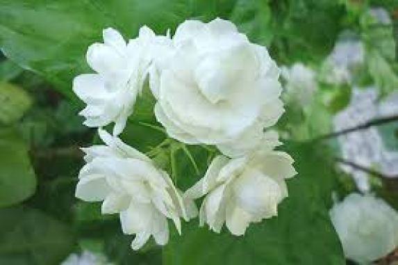 Loài hoa này có rất nhiều công dụng cả về chữa bệnh lẫn làm đẹp