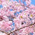 馬肉ってなぜ桜肉と呼ばれているの?また食肉になった歴史は・・・