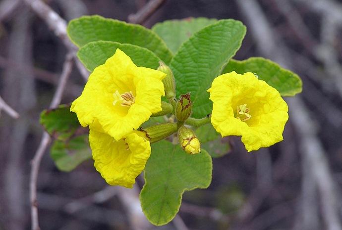 Galapagos Plants  Galapagos Flora  Galapagos Islands Plants  Flora