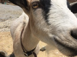 The friendliest goat in the world. Either that or he wanted to eat my cell phone.