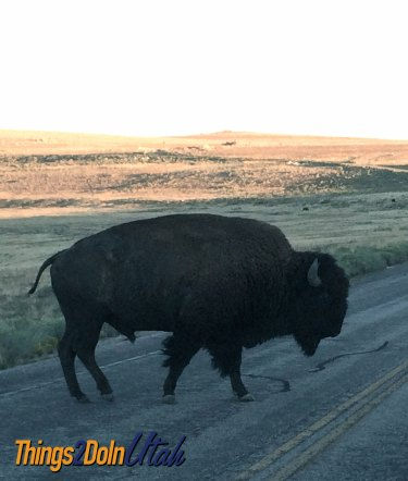 buffalo-at-antelope-island