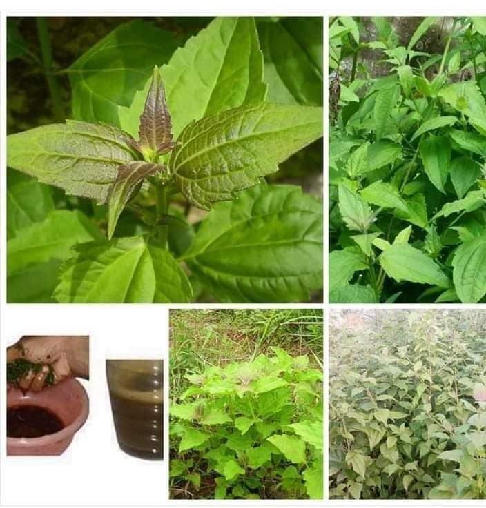 HEALTH BENEFITS AND IMPORTANCE OF SIAM WEED (Chromolaena odorata). thingscouplesdo.com