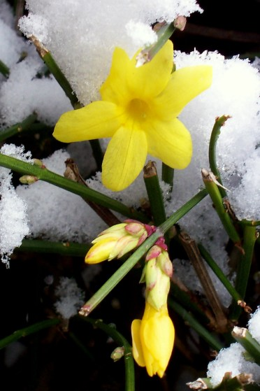 Early forsythia blooms bravely peek out from a January snow.