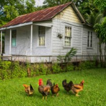 Portland cottage with fowls