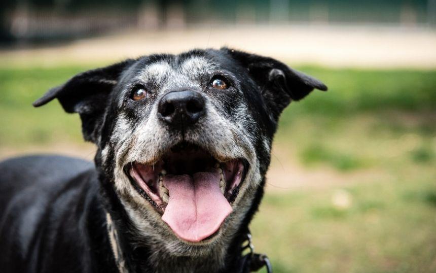 Why You Should Rescue a Senior Dog