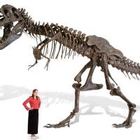 Full-size T-Rex skeleton replica