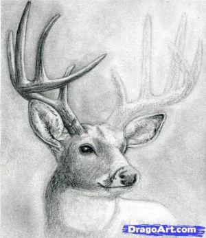 deer draw head buck step dear drawing drawings sketch sketches animal easy pencil animals learn dragoart realistic painting deers info
