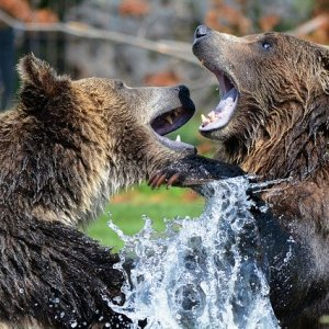 Bears Attack ZooKeeper In Chinese Wildlife Park Ferociously 2020