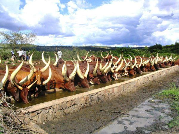 bunyoro - long-horned cattle ankole