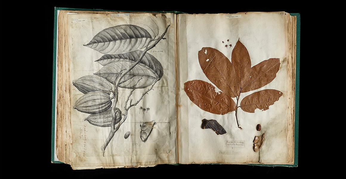 scientists - Theobroma cacao collected by Hans Sloan