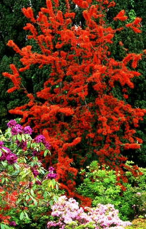 Bodnant Rhododendrons and Embothriam Copyright Charles Hawes