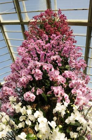 Tower of phalaenopsis Orchids at Kew photo thinkingardens