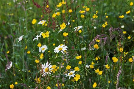 Veddw - wild flower meadow copyright Charles Hawes