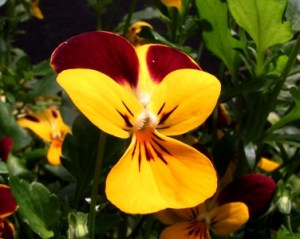 Viola-Jackanapes-at-Veddw-copyright-Anne-Wareham