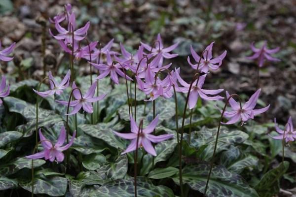 Erythoniums at Veddw, copyright Charles Hawes
