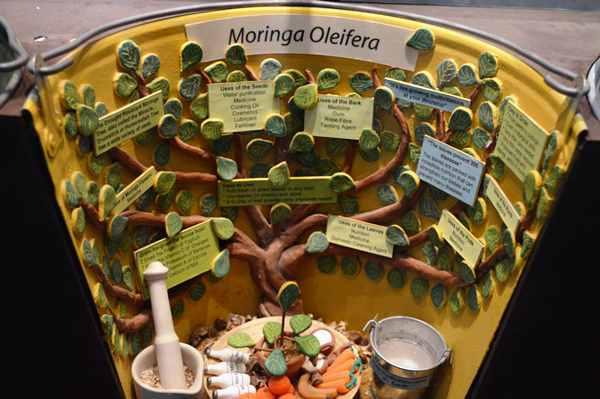 Moringa exhibit Eden Project, copyright Noel Kingsbury
