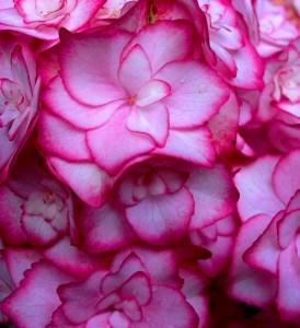 hydrangea flower Copyright Anne Wareham, at Veddw SAM_2626