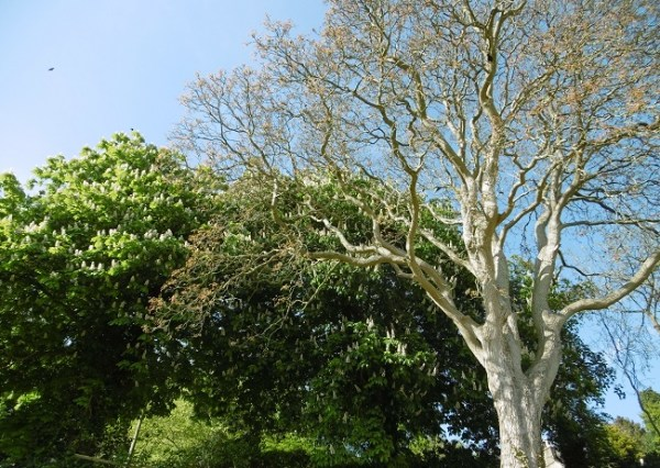 Walnut Tree copyright Bridget Hannigan on thinkingardens