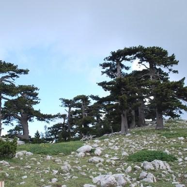 Bosnian Pines - Pollino, Calabria (Italy)