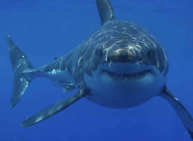 Great Whita Shark - cage diving