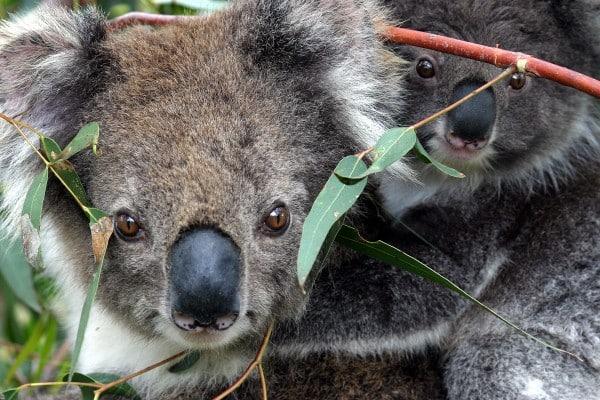 Koalas - French Island, Australia