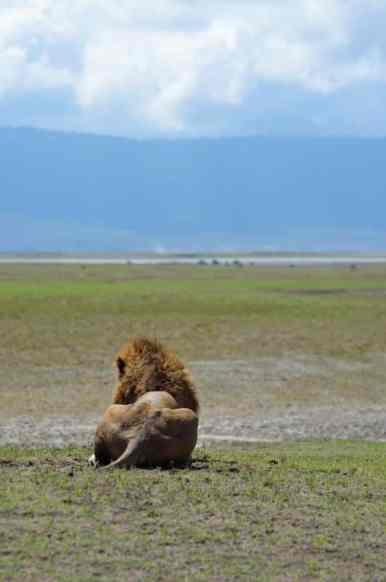 Lion - Ngorongoro, Tanzania