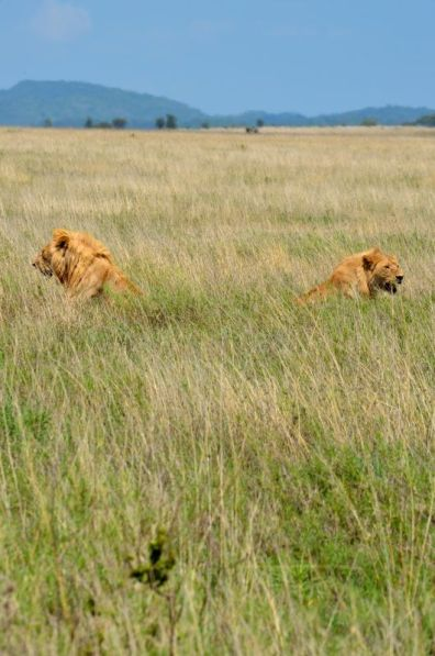 Lions - Serengeti, Tanzania