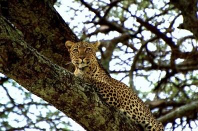 Leopard, Serengeti National Park, Tanzania (Gareth Clarke)