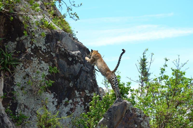 Leopard, Serengeti - Tanzania