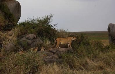 Lions, Ngorongoro Crater, Tanzania (Johnny Chen)